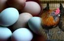 دجاج و بيض