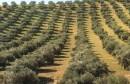 اشجار-الزيتون